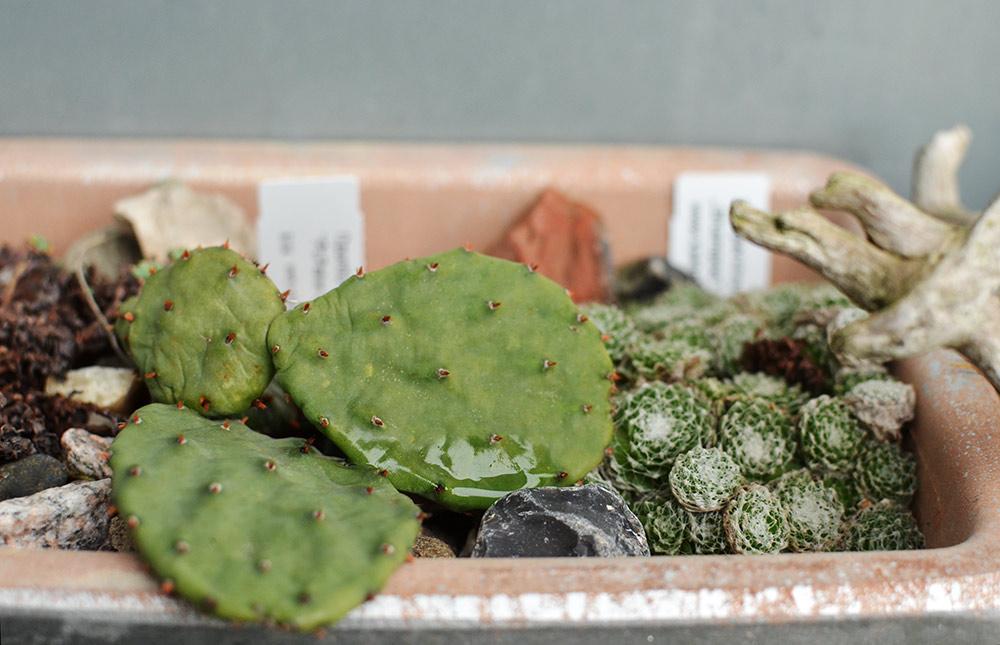 Kaktus im Winter draußen überwintern: Opuntien in Hamburg
