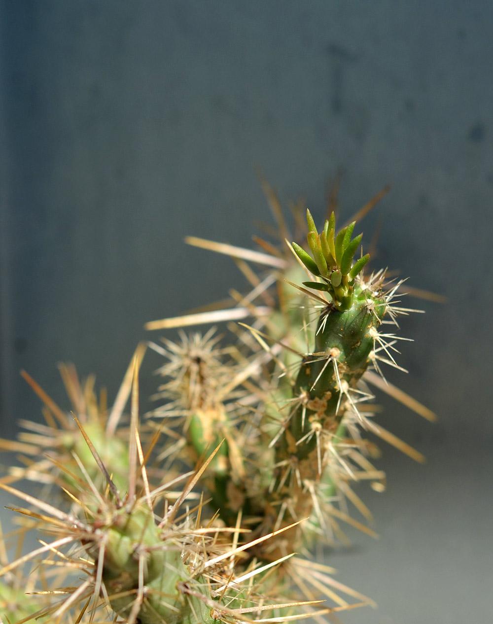 Kaktus auf dem balkon überwintern