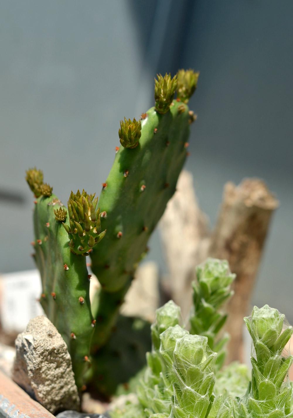 Kaktus auf dem Balkon: Opuntie, junge Triebe