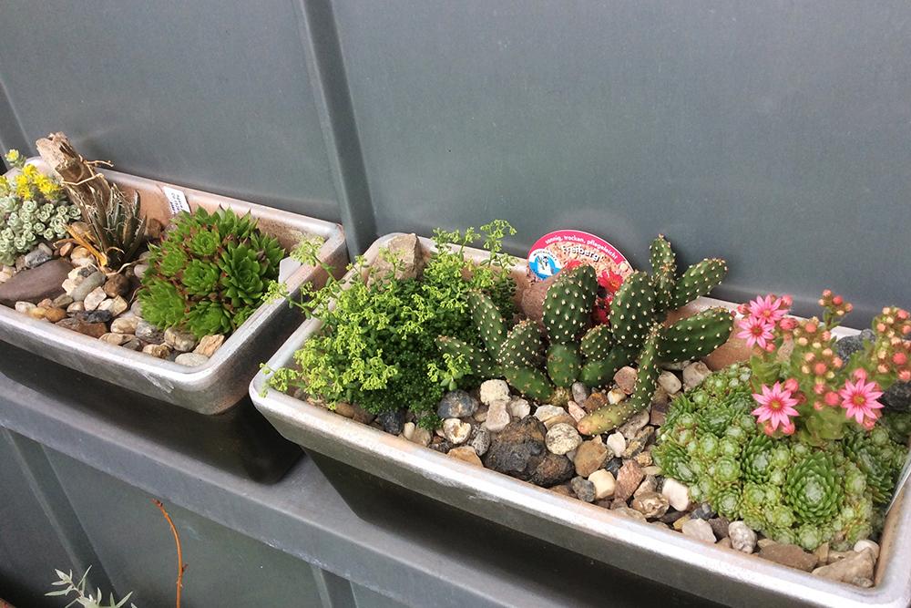 Steingarten - Kaktus im Freiland-Blumenkasten
