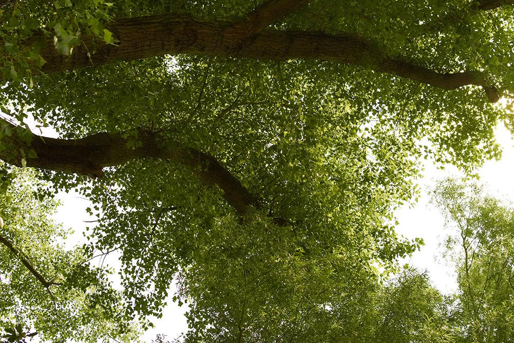 Pappel blüht im Sommer, Baumkrone
