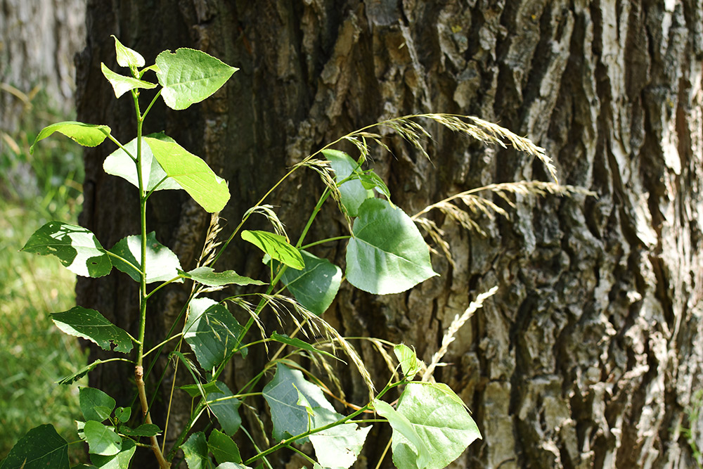 Baumstamm einer Pappel mit Blättern