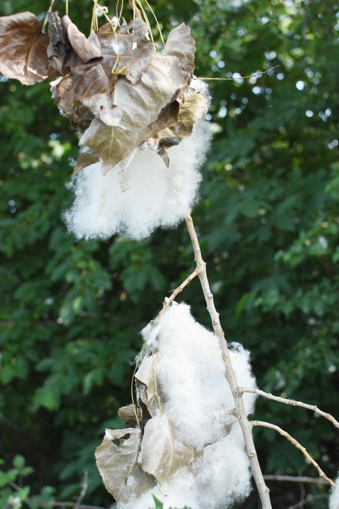 Pappelwolle am Baum, wie Baumwolle